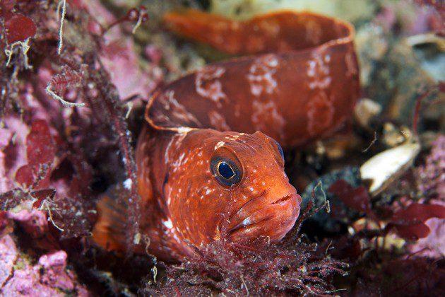 Anarhichas lupus - Atlantik Kurt Balığı Genç Birey