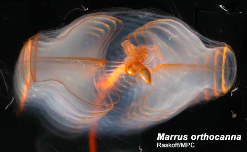 Marrus orthocanna