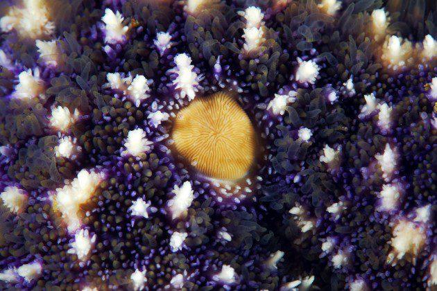 """Asterias amurensis, fotoğrafta sarı renkteki yapı """"elek plaka"""" olarak isimlendirilir. Japon denizinde yaşar."""