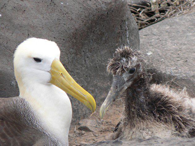 Ergin ve Yavru Albatros Bireyleri
